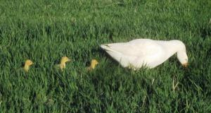 Goslings and three geese