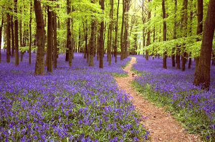 Path Through Bluebell flowers