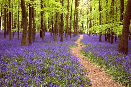 Path Through Bluebell flowers