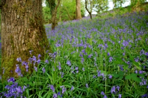 Scottish Bluebells