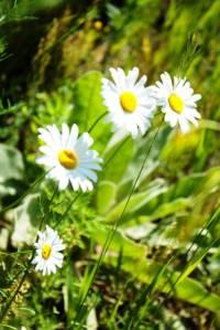 wild ox eye daisies