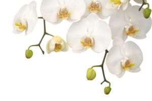 White Chinese Orchid