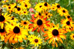 black eyed Susans and Rudibeckia