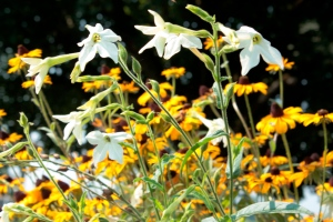 nicotiana and black eyed susans