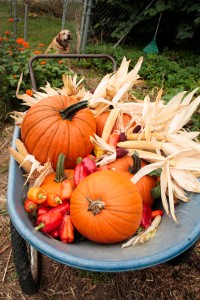 fall pumpkns in wheelbarrow