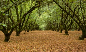 Filbert Orchard 01