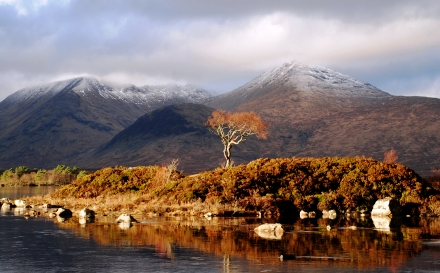 Rowan Tree, Mountain, Black Mount, Scottish Highlands