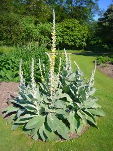 Verbascum_densiflorum_'dense-flowered_mullein'