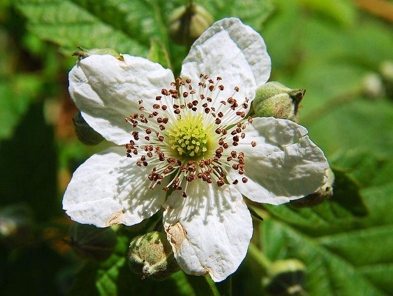 Фото малина цветы
