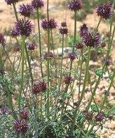 Chia  Sage (S. columbriae)