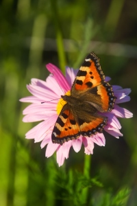 Cosmos flower with butterfly