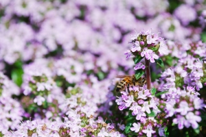 thyme with honey bee