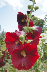 wine-red hollyhock