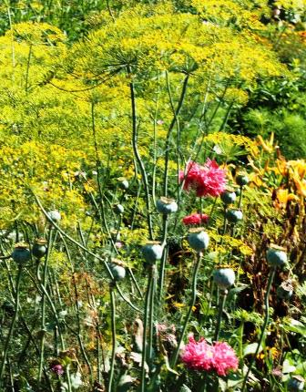dill and poppies