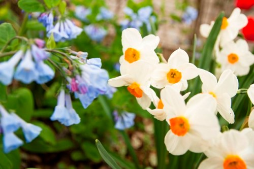 Bluebells, daffodils and tulips.jpg smaller