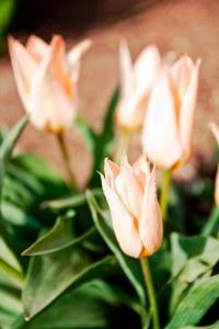 Elise tulips