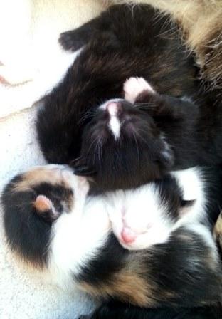Sleeping newborn kittens.jpg resized