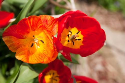 tulips in the garden-April