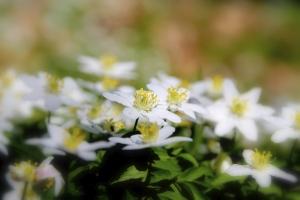 anemone--wind flowers