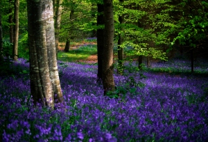 Bluebell forest in Ireland