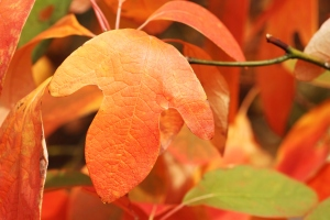Sassafras leaves in autumn