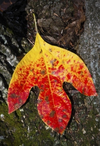 sassafras leaf in autumn