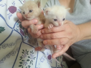 tiny oriental and tabby mix kittens