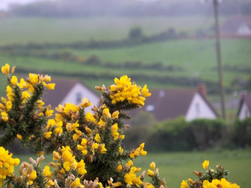 Gorse in bloom