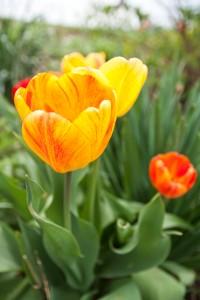 Beauty of Apeldoorn tulips