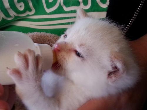 Little white kitty drinking his bottle