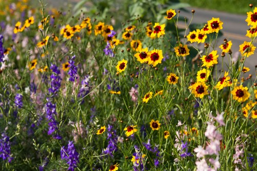 wildflowers and reseeding annuals