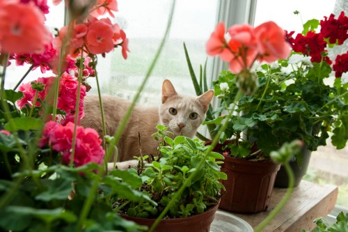 Apricot tabby in geraniums