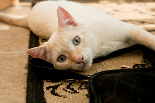 'Cream' Siamese orange tabby mix