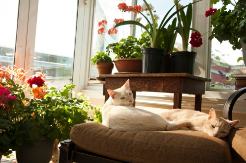 Peaches and Cream snoozing in the Sunspace