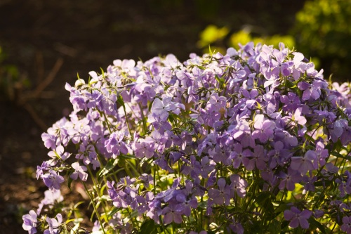 blue phlox spring blooming