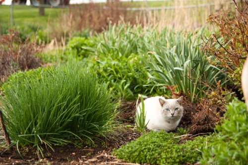 Siamese barn kitty in herb bed