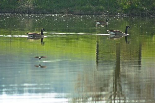 the farm pond with geese