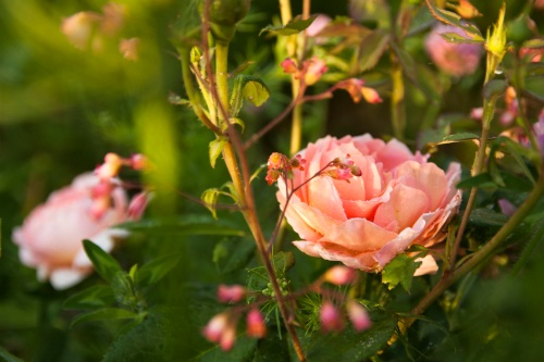 June Roses Abraham Darby