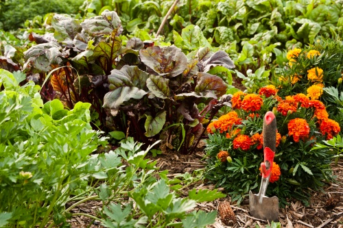 Salad garden.