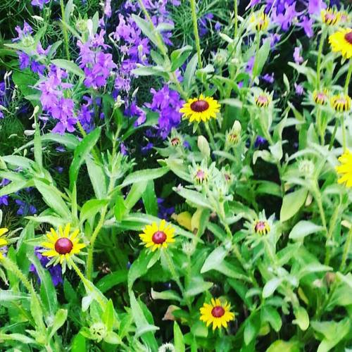 Blacl-eyed susan and larkspur