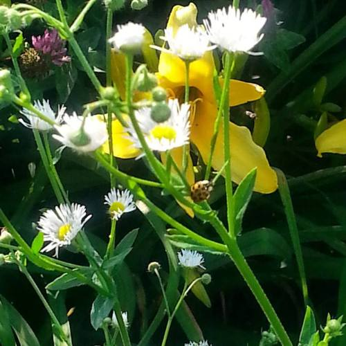 daylilies and white asters