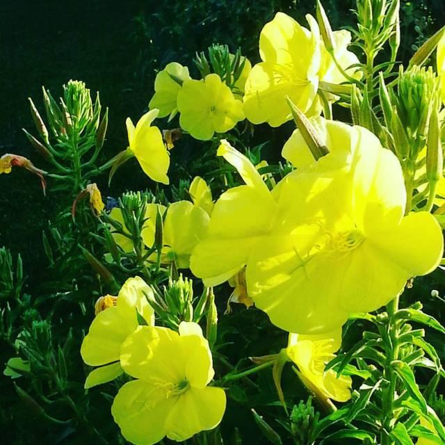 Evening primrose in the dew