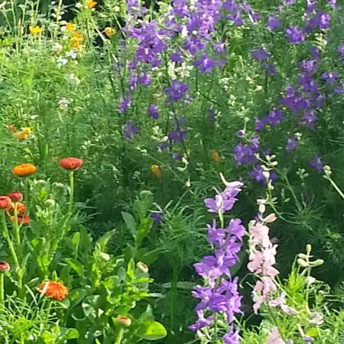 Larkspur and calendula