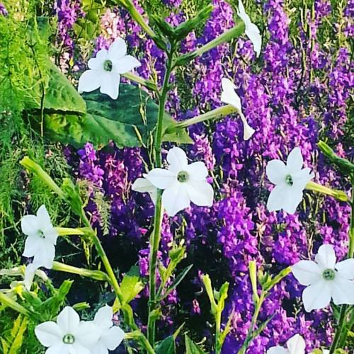 Nicotiana with larkspur
