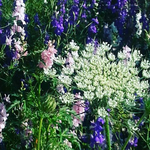 Queen Anne's Lace and larkspur