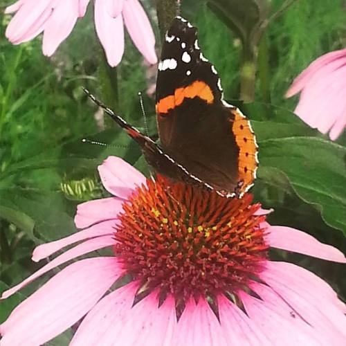 Red Admirel butterfly on cone flowers