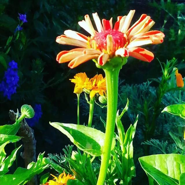 Zinnia in June Garden