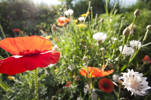 A parade of poppies by Elise