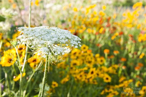 Brilliant coreopsis and Queen Ann's Lace by Elise