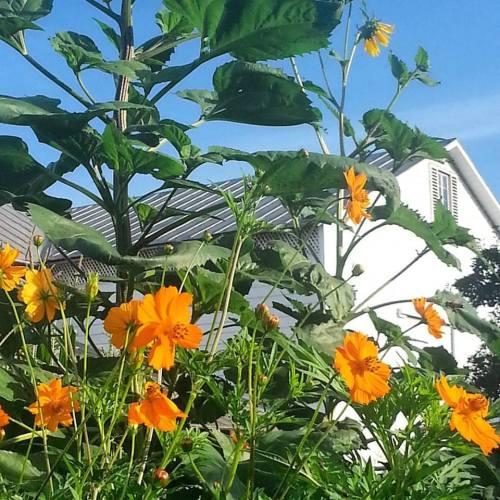 Cosmos, sunflowers, and barn.jpg1
